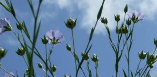 Linaseemne-taim